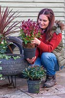 Woman planting Leucothoe - Switch Ivy - in tyre planter.