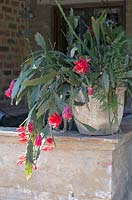 Schlumbergera red in clay pot.