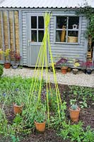 Wigwam plant support for sweet peas in vegetable plot.