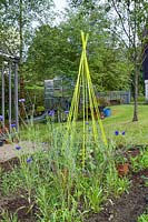 Yellow caned plant support for Sweet peas, flowering Cornflowers and seedlings, Dunoon, Scotland