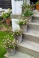 House steps with containers of Erigeron karvinskianus - Mexican fleabane.
