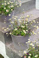 House front door steps with small containers or pots planted with Erigeron karvinskianus - Mexican fleabane.