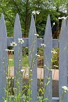 Grey wooden picket fence with Leucanthemum vulgare - Ox-eye Daisy.