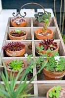 Wooden tray of succulents and alpine plants including Sedums and Sempervivums.