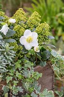 Helleborus niger, Skimmia and Hedera - Ivy - in wooden crate.