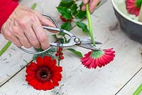 Woman cutting off red flower from Gerbera stem.
