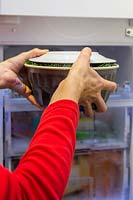 Woman placing cake tin of plant material and water in freezer to create frozen floral arrangement.