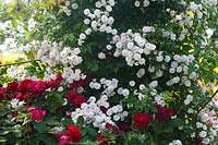 Rosa 'Paul's Himalayan Musk' and Rosa Darcey Bussell 'Ausedecorum'