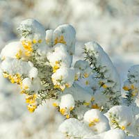 Ulex europaeus - Common gorse covered in snow