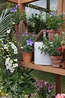 Wooden shelves in greenhouse filled with potted plants.