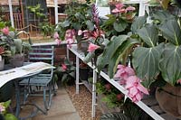 Greenhouse with potting bench of Medinilla Magnifica.