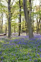 Bluebell Wood, Hyacinthoides non-scripta