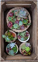 Crate of pots planted with various succulents.