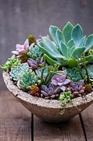 Succulents planted in container.