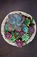 Echeveria 'Blue Waves' with succulents in container.