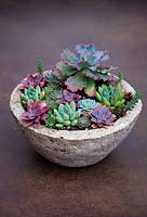 Echeveria 'Blue Waves' with succulents in bowl.