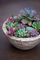 Echeveria 'Blue Waves' planted with a selection of succulents in a container.