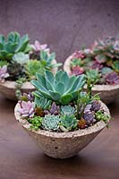 Echeveria planted with a selection of succulents in a container.