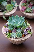 Echeveria and succulents in container.