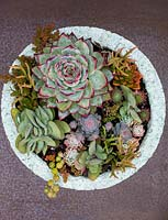Echeveria chihuahuensis 'Raspberry Dip' with various other succulents planted in decorative container.