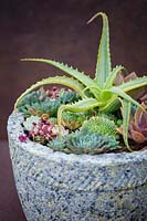 Aloe arborescens 'Variegata' with succulents in pot.