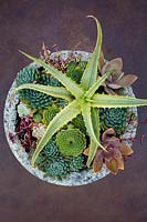 Aloe arborescens 'Variegata' planted with various other succulents in decorative container.