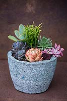 Natural container planted with Crassula lycopoidiodes and a selection of other succulents.