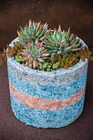Pachyveria 'Yvonne' succulents in natural container.