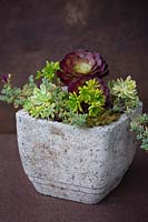 Aeonium 'Durango' and various other succulents in natural container.