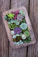 Vertical succulent wall planter with mixed Echeveria and Sedum.  Surreal Succulents, Tremenheere Nursery, Cornwall, UK.