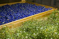 Chamomile and Cornflower being dried and prepared for products