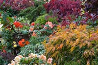 Mixed acer and conifer planting in Four Seasons Oriental themed garden, with late flowering begonias.