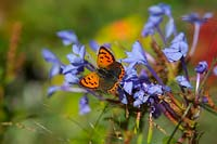 Lycaena phlaeas ab. caeruleopunctata - small copper butterfly - feeding on Plumbago auriculata 'Crystal Waters'