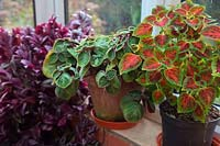Plectranthus oertendahlii with Coleus 'Winsome' and Tradescantia zebrina  on a conservatory window.