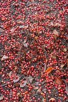 Path covered with the fallen berries of Malus hupehensis - Hupeh crab apple - syn. Malus theifera 