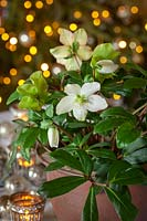 Helleborus niger 'Mont Blanc' - Christmas rose - used as part of a Christmas table decoration