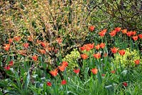 Tulipa 'Ballerina' growing amongst Cornus sanguinea 'Magic Flame'