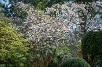 Prunus incisa 'The Bride' AGM. Cherry