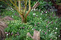 Fritillaria meleagris - snakeshead fritillaries - with Anemone x lipsiensis syn. Anemone nemorosa x ranunculoides , Anemone seemanii in the woodland area in John Massey's garden.