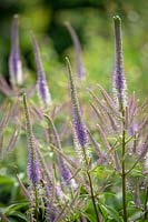Veronicastrum virginicum 'Fascination' - Culver's root