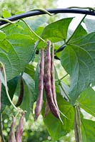 Phaseolus vulgaris - Climbing Beans 'Borlotto lingua di fuoco 2' growing on a metal archway.