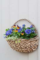 Wall mounted basket with mixed planting of Viola and Hedera - Pansies and ivy.