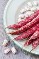 Phaseolus vulgaris Borlotto lingua di fuoco 2 - Freshly harvested Borlotti beans on an enamel plate