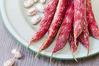 Phaseolus vulgaris Borlotto lingua di fuoco 2 - Freshly harvested Borlotti beans on an enamel plate.