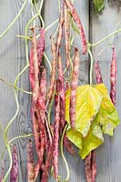 Phaseolus vulgaris Borlotto lingua di fuoco 2 - Borlotti beans air drying on the vine, on back of a wooden door.