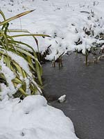 Frozen pond with marginal plants in winter.