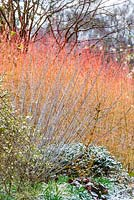 Salix irrorata and Cornus sanguinea 'Midwinter Fire'