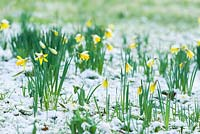 Narcissus pseudonarcissus naturalised plants on snowy ground