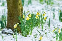 Narcissus pseudonarcissus naturalised plants near tree trunk on snowy ground
