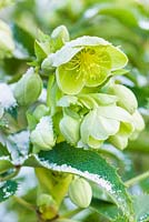Helleborus argutifolius - hellebore - with light snow